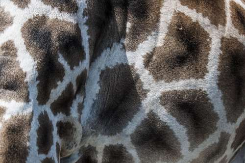 Giraffe Fur Pattern Zoo Animals