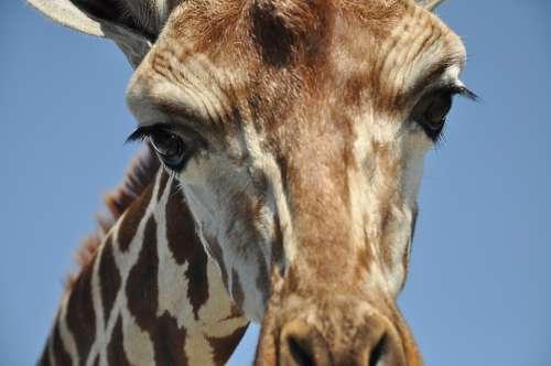 Giraffe Animals Zoo Serengeti Safari Big Game