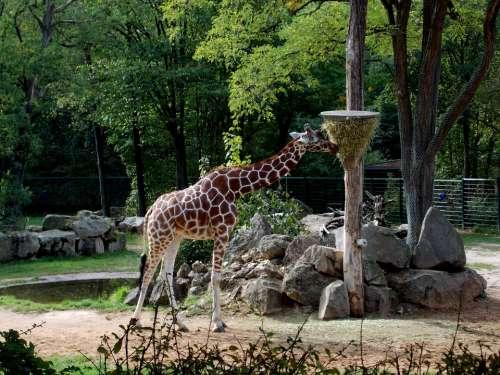 Giraffe Tiergarten Paarhufer Zoo Mammal Animals