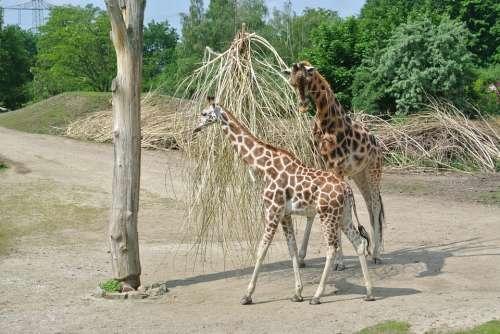 Giraffe Young Nature Growth