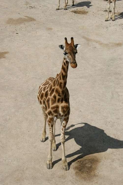Giraffe Baby Giraffe Savanna