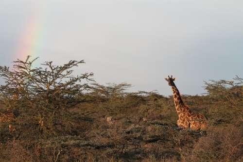 Giraffe Africa Nature Landscape