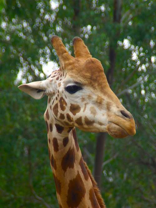 Giraffe Male Animal Head Africa African Wildlife