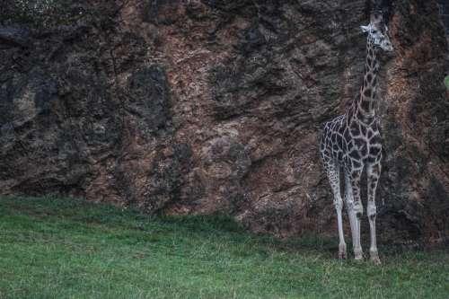 Giraffe Loneliness Nature Animals Africa