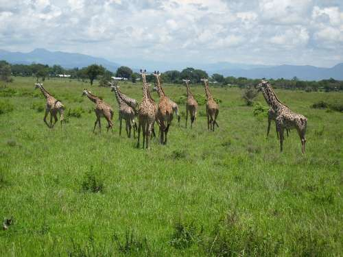 Giraffes Africa Mikumi National Park Wilderness