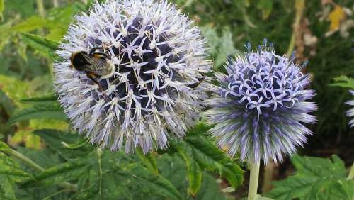 Globe Thistle Bee Flower Insect Pollination Nectar