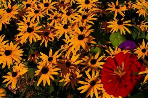 Gloriosa Daisies Flowers Daisy Yellow Daisies