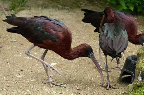 Glossy Ibis Bird Bill Plegadis Falcinellus