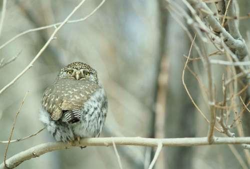Gnoma Glaucidium Bird Pygmy Northern Owl Birds