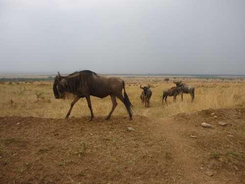 Gnu Flock Savannah Masai Mara Kenya Africa