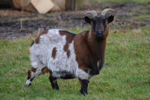 Goat Animal Meadow