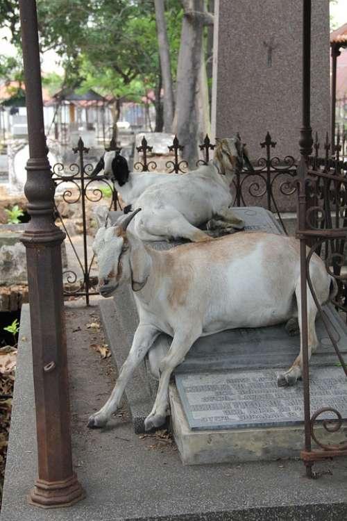 Goat Cemetery Surabaya