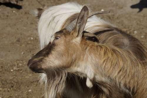 Goat Scratch Horns Fur Scratching Themselves