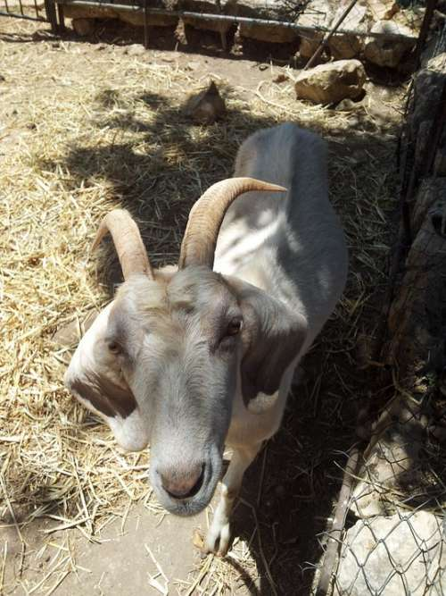 Goat White Animal