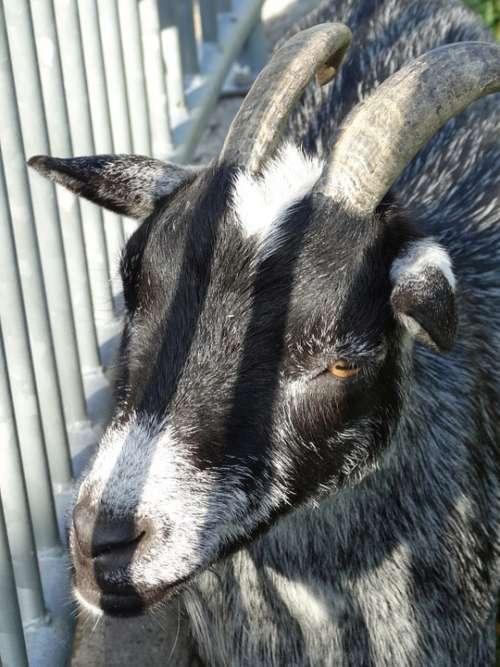 Goat Lichtspiel Animal World Light Livestock