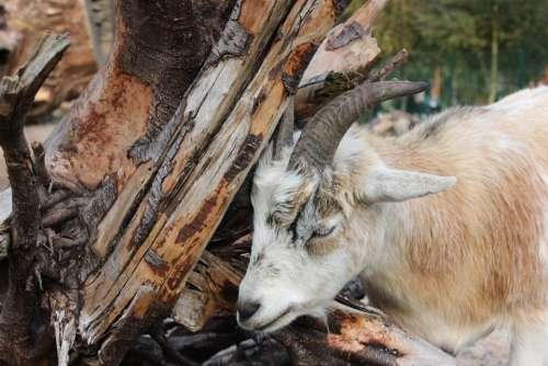 Goat Zoo Horns Horned Billy Goat Domestic Goat