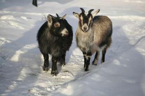 Goat Dvärgget Animals Animals In Snow