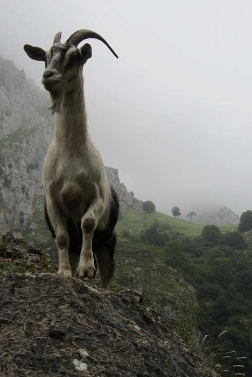 Goat Asturias Mountain
