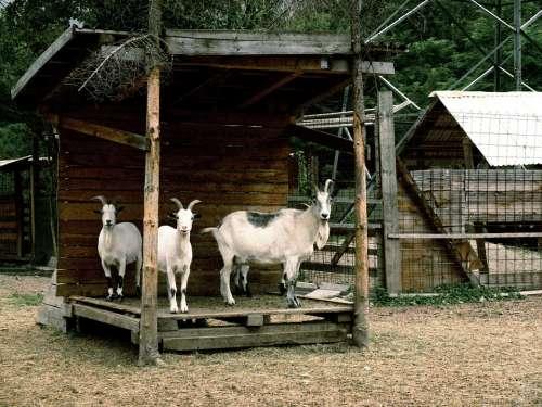 Goats Animals Goat Horns Animal World Creature