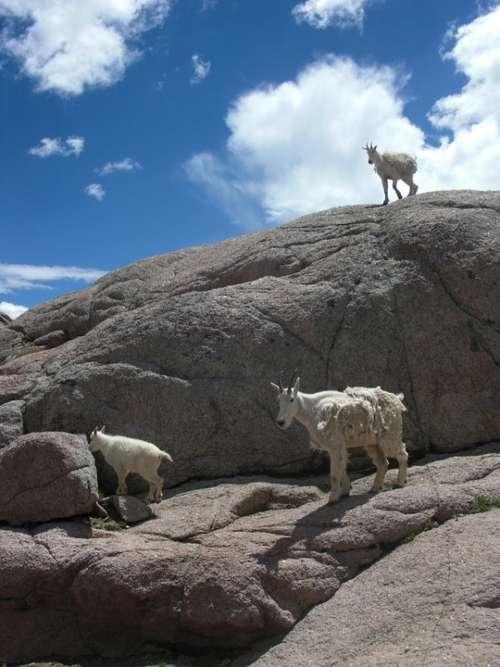 Goats Mountain Goat Animal Nature Wildlife