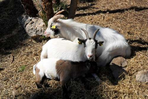 Goats Animals Nature Flora Animal Horns Hay Coat