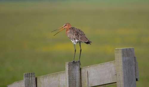 Godwit Pole Bird Nature Animal Spring Holland