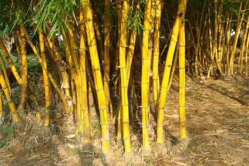 Golden Bamboo Striped Bamboo Bambusa Vulgaris
