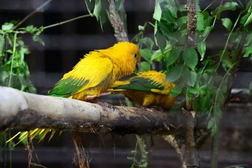 Golden Conure Parrots Queen Of Bavaria Conure Pair