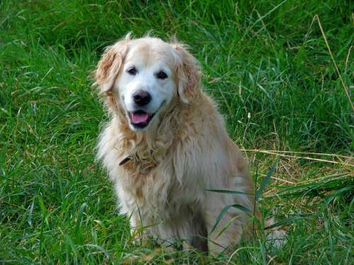Golden Retriever Dog Retriever Canine Pet Animal