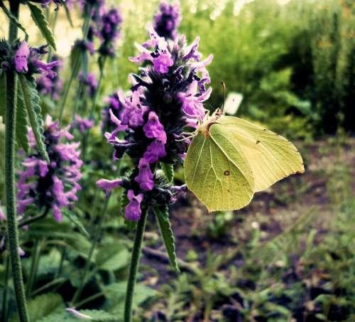 Gonepteryx Rhamni Butterfly Nature Flora Garden