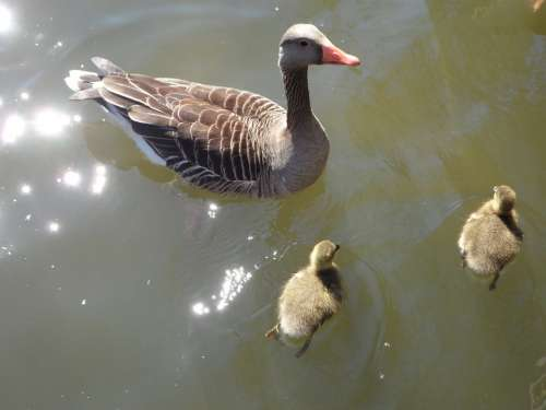 Goose Geese Goose Family Water Swim Chicks