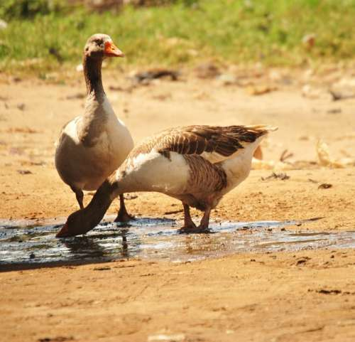 Goose Poultry Animal Birds Drinking Duck