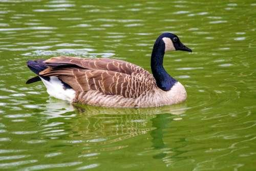 Goose Duck Bird Lake Water Animal Animal World