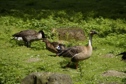 Goose Duck Water Bird Bird Meadow Animal World