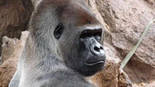 Gorilla Male Endangered Species Ape In Captivity