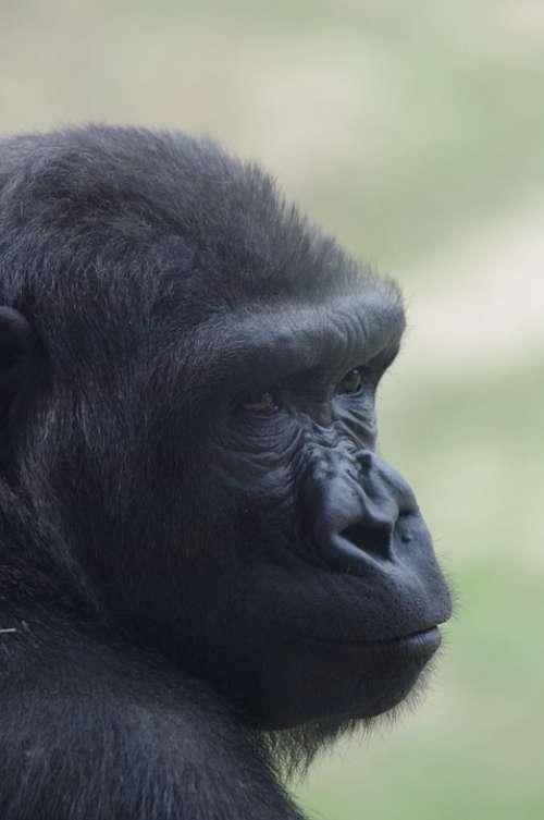 Gorilla Philadelphia Zoo Animal Primate Ape Head