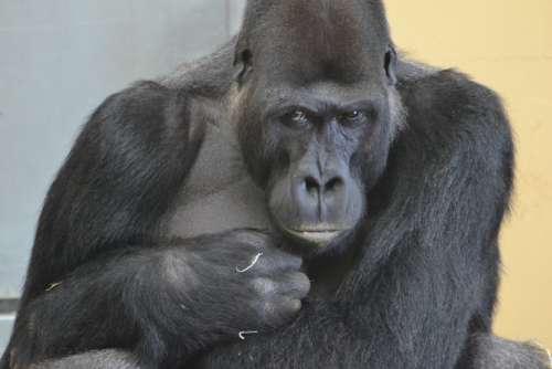 Gorilla Zoo Monkey Mammal