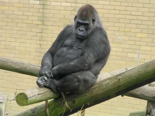 Gorilla Ape Zoo Wild Wildlife Beast Strong