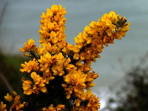 Gorse Furze Yellow Yellow Flower Flower Shrub