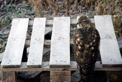 Goshawk Bird Hawk