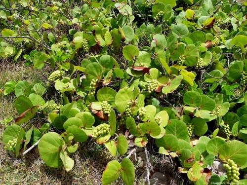 Grape Plant Plant Coccoloba Uvifera Flowering Plant