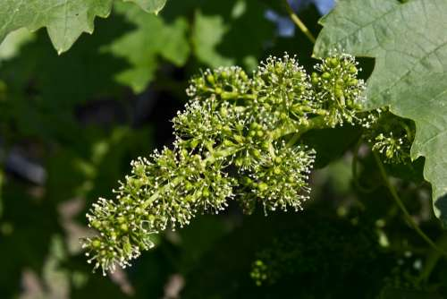 Grapes Flowers Wine Bunch Berry Vines Garden