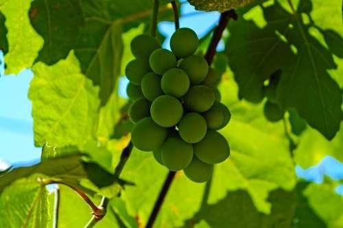 Grapes Sour Grapes Vineyard Bunch Fruit Food