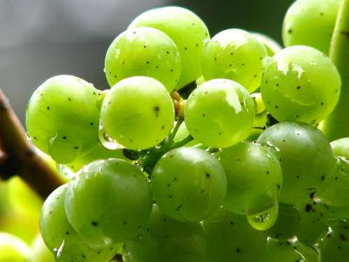 Grapes Vine Wine Green Winegrowing Green Grapes