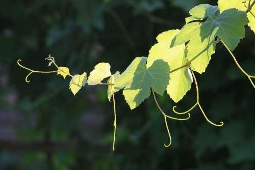 Grapevine Vine Branch Leaves Tendrils Green Light
