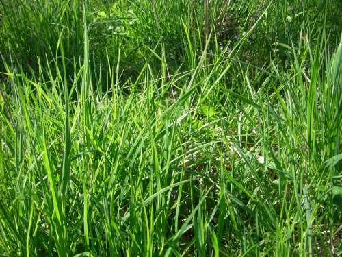 Grass Meadow Blade Of Grass Nature Grasses