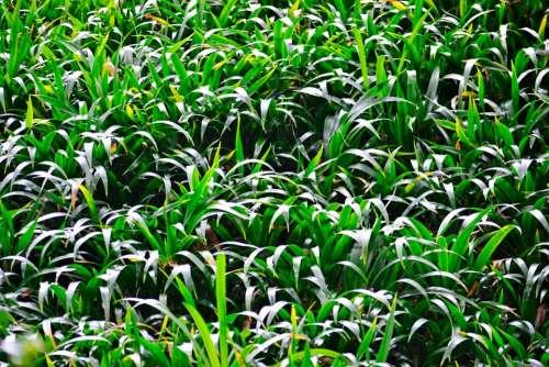 Grass Light Green Plants Vegetation Sri Lanka