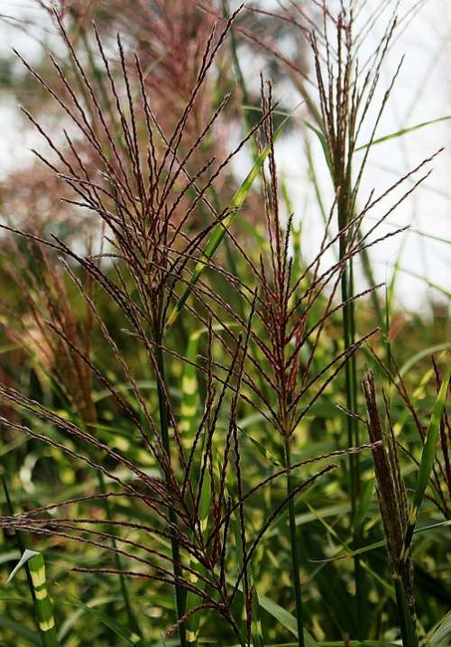 Grass Pointed Grasses Late Summer Nature Plant