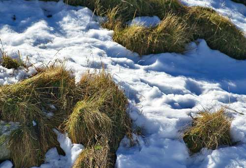 Grass Parched Grass Snow First Snow Autumn