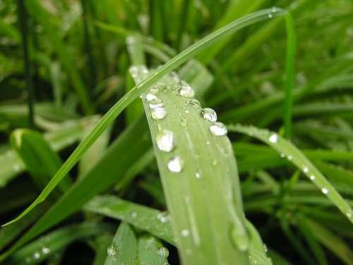 Grass Grasses Nature Plant Rain Drip Raindrop